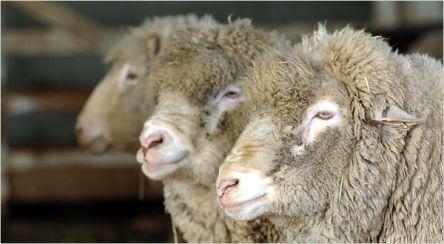 Овце ли сме или да?!